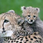Little cheetah and his mother - close up view